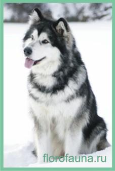 Маламут, Аляскинский маламут собаки порода аляскинский маламут все о маламуте