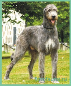 Ирландский волкодав, порода ирландский волкодав, собака ирландский волковав, об ирландском волкодаве