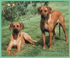Родезийский риджбек, порода родезийский риджбек, собака родезийский риджбек, описание родезийского риджбека