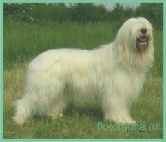 Южно-русская овчарка, порода южно-русская овчарка, собака ...
