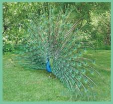 Павлин, птица павлин, все о павлинах, павлин описание, павлин в природе