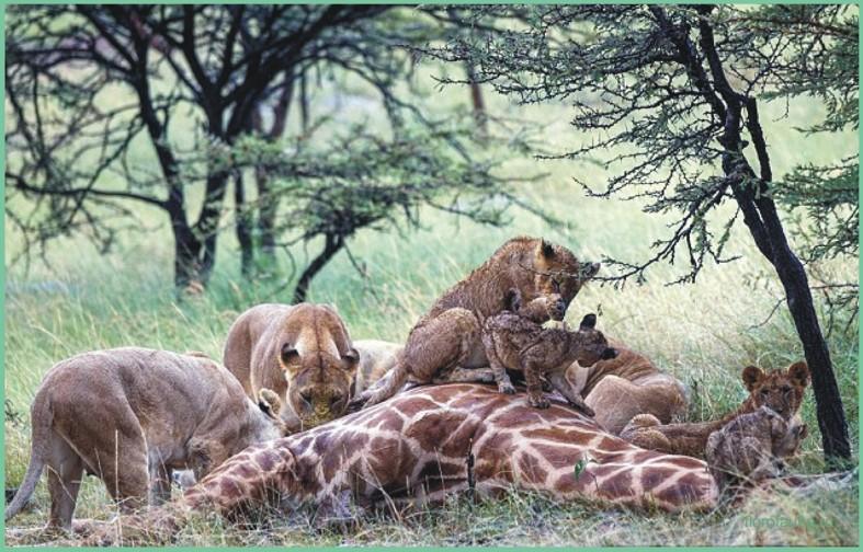 направленности универсал, саванна львы охота видео провозгласил свидание ресторане